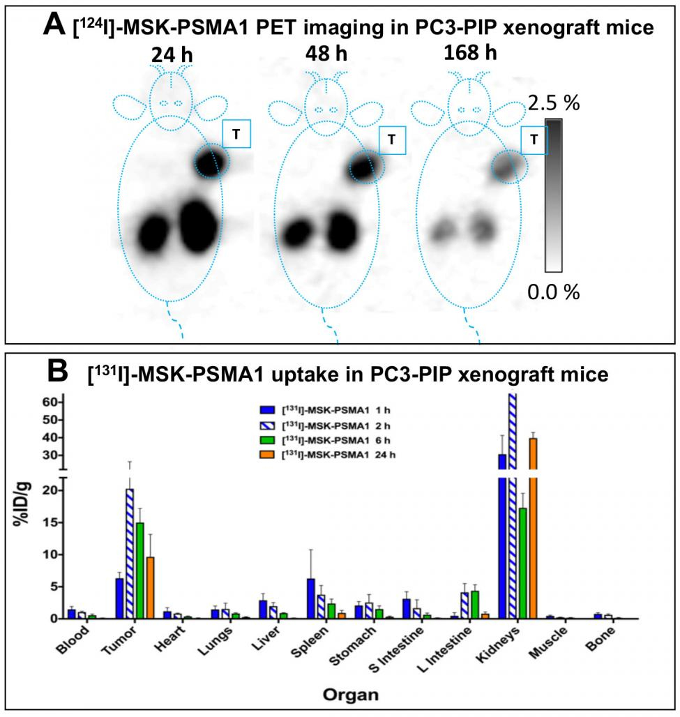 PET images of 124I-MSK-PSMA1 in mice