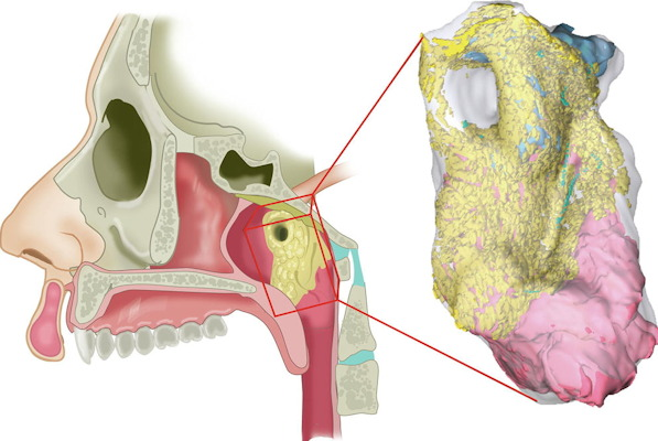 An interactive 3D reconstruction of histological slides of the newly identified gland
